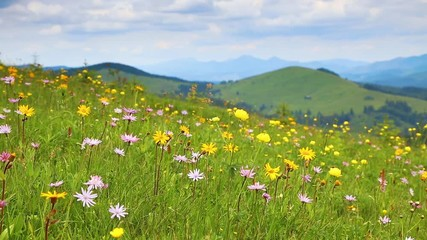 壁紙(ウォールミューラル) - Splendid view of a flowering meadow. Location Carpathian national park, Ukraine.