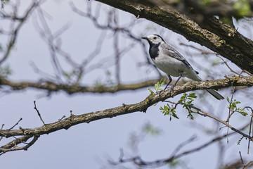 motacilla alba wagtail  bird on tree