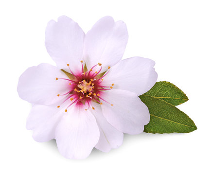 flower of almond on white background