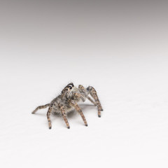 Philaeus chrysops  - macro photo of jumping spider