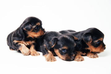 Cute three pupies yorkshire terrier lie on soft litter. Family of cute dogs.