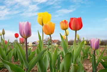 Fototapete - bunte Tulpen zum Selberschneiden am Feld