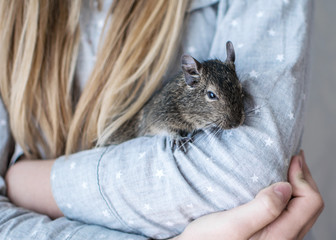 Young girl with long hair and dressed blue shirt is playing with small animal common degu squirrel. Close-up portrait of the cute pet on kid's arms.