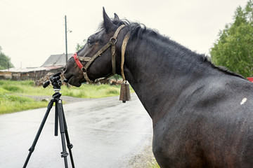 Black country horse researching the tripod for the camera. Russia.