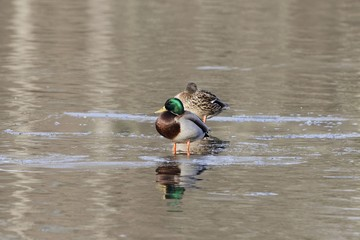 Mallard ducks on the ice of a lake.