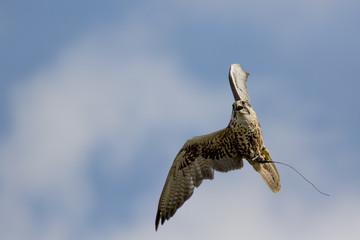 Saker falcon bird of prey on display turning in flight