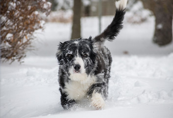 Australian Shepherd Blue Merle In Snow