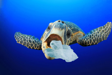 Turtle eats plastic bag. Environmental pollution of ocean with plastic garbage damages marine life
