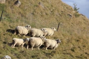 Six Sheep in New Zealand