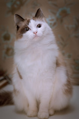 Fluffy white cat with brown ears and tail sits on the table on the background of wallpaper with a floral print and somewhere interested looks