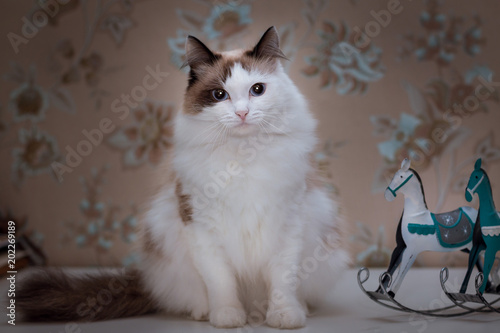 Fluffy White Cat With Brown Ears And Tail Sits On The Table Next To