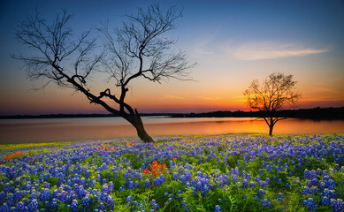 Beautiful Texas spring sunset over a lake. Blooming bluebonnet wildflower field and tree silhouettes.