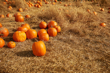 Pumpkin patch in a field of straw. Background for fall, autumn, Halloween, Thanksgiving, seasonal display