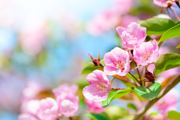 Pink apple flowers spring background