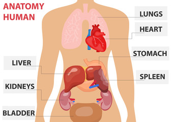 Human organs, the placement of human organs in the body. Human anatomy.