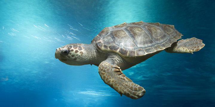 Loggerhead turtle, Caretta caretta, in open water