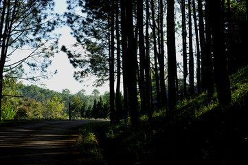 trees in the forest, Pine forest, sunlight, sunset, sunshine