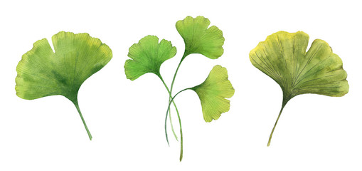 Gingko biloba illustration