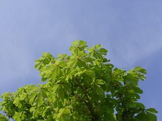 Kastanie Blätter Äste