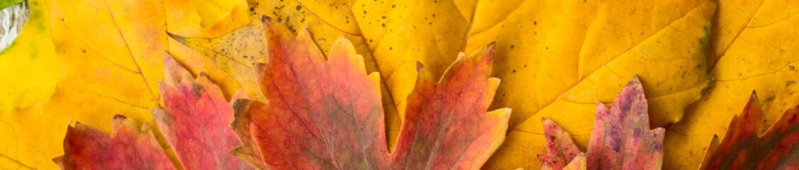 Banner of yellow red and green maple leaves with gradient close-up background