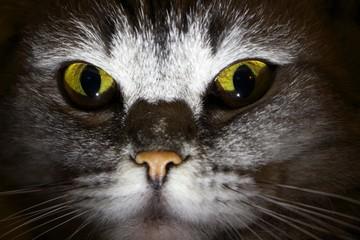 cat, pet, animal, eyes, cute