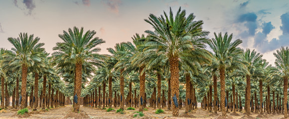 Plantation of date palms - tropical agriculture, routine maintenance at dawn