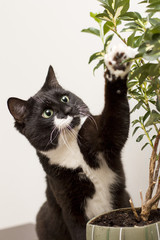 A black and white cat with a white mustache and a spot on the face touches the house plant in a pot - ficus