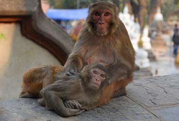 Autocollant pour porte Delhi Two monkeys at Swayambhunath Stupa, Kathmandu, Nepal