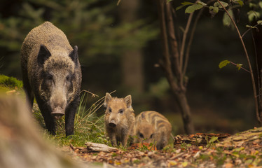 Cute swine sus scrofa family on the trip in dark forest. Group of Wild boar, mother care about small cryptic striped young babies on background natural environment of deep bush. Wildlife photography.