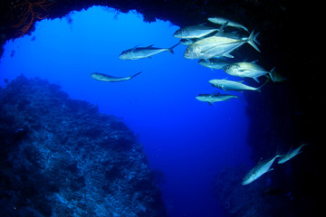 Fish on coral reef. Jackfish at drop-off at Sipadan Island