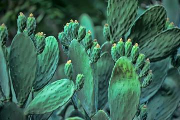 bush cactus in turkey