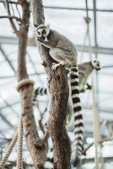 Group of ring-tailed lemurs climbing trees.