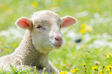 Cute little lamb looking at camera in a meadow