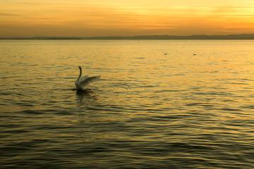 Sunset on the lake Garda with white swan
