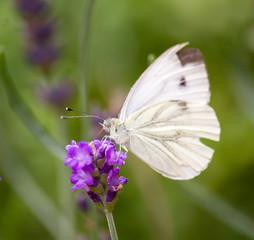 Weisser Schmetterling