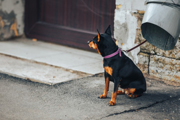 Young doberman Pinscher tied to the pipe and waiting for his master