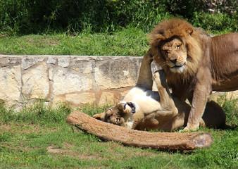Playful Lions Photograph