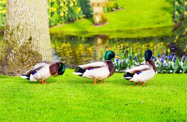 Three ducks walking on green grass meadow