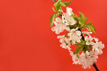 Blooming cherry tree stock images. Cherry branch on a red background. Spring floral decoration. Spring background concept. White cherry blossom flowering branche