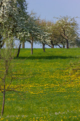 apple tree detail with blossom on the horizon