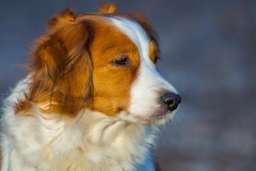 Sweet dutch Kooikerhondje during a dog walk