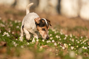 dog stands in the woods in spring in anemone flowers and smells it - Cute little Jack Russell Terrier 11 years old