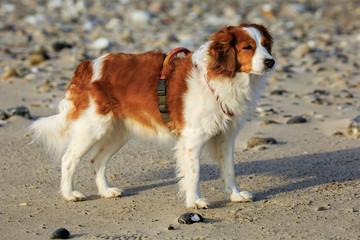 Dutch Kooikerhondje dog on a beach in Denmark