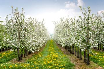 Apfelbaumplantage in der Blühte