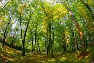 green beech forest in spring. sunlight. fisheye lens