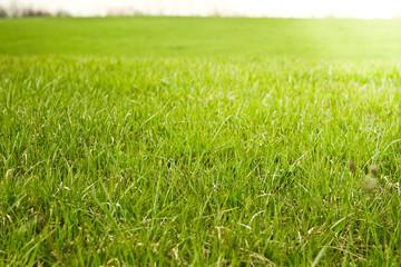 fresh green grass  morning sun light  filed  growth
