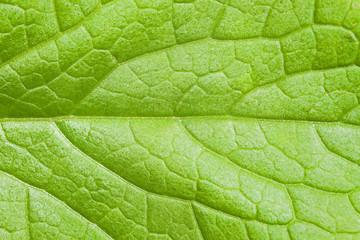 Green leaf texture. Natural green leaf skeleton. Transverse venation pattern of green leaf. Veins pattern.
