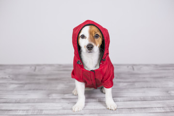 portrait of a young cute small dog wearing a red water coat with hood. He is looking a the camera, white background. Lifestyle and pets indoors.