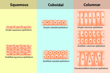 Types of Epithelial tissue. Epithelium