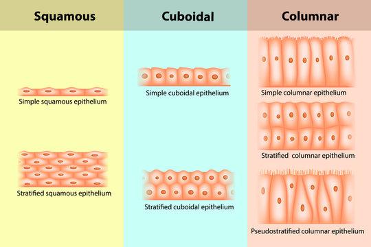 Types of Epithelial tissue. Epithelium